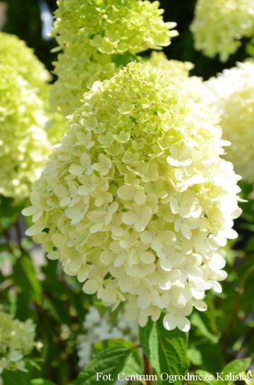 Hydrangea paniculata MAGICAL SWEET SUMMER (Hortensja bukietowa) - C5