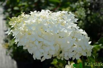 Hydrangea paniculata 'Phantom' (Hortensja bukietowa) - C4