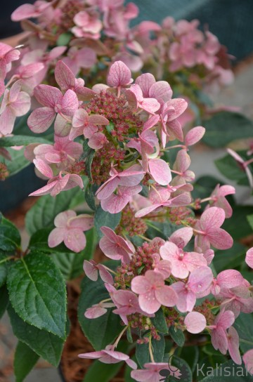 Hydrangea paniculata 'Polestar' (Hortensja bukietowa) - C2