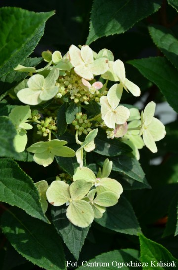 Hydrangea paniculata 'Praecox' (Hortensja bukietowa) - C5 PA