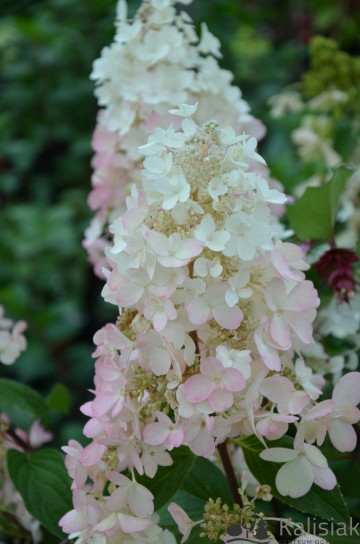 Hydrangea paniculata PINKY WINKY 'DvpPinky' (Hortensja bukietowa) - C5