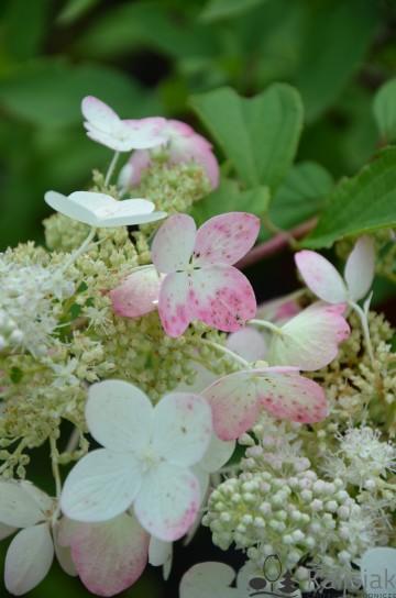 Hydrangea paniculata 'Ruby' ANGEL'S BLUSH (Hortensja bukietowa) - C3