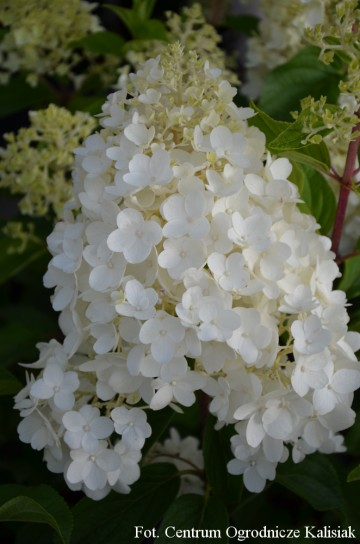 Hydrangea paniculata 'Silver Dollar' (Hortensja bukietowa) - C3