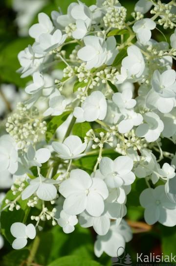 Hydrangea paniculata 'White Moth' (Hortensja bukietowa) - C5
