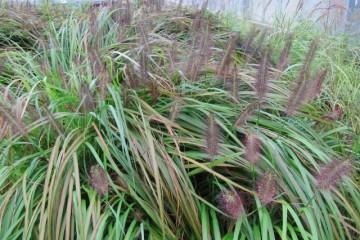 Pennisetum alopecuroides f. viridescens (Rozplenica japońska odmiana zieleniejąca) - C7,5