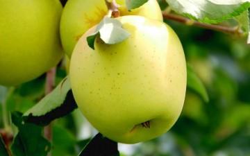 Jabłoń 'Złota Reneta' P - C5
