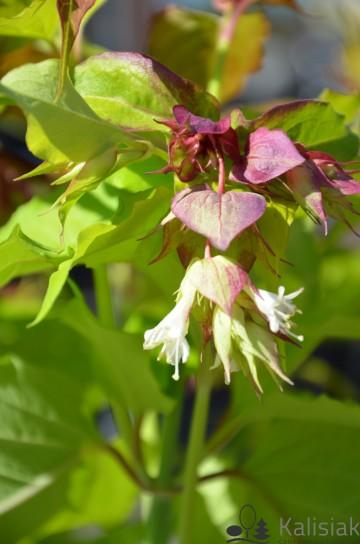 Leycesteria formosa GOLDEN LANTERNS 'Notbruce' (Lejcesteria piękna) - C5
