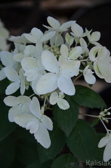 Hydrangea paniculata 'Touch of Pink' (Hortensja bukietowa) - C5