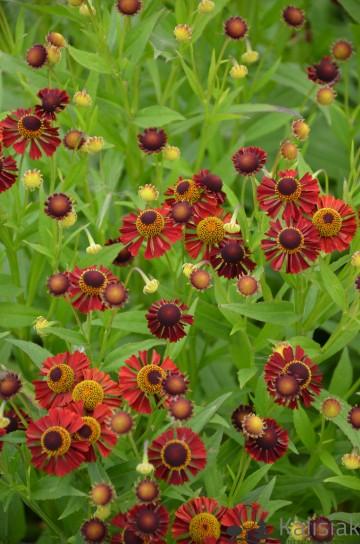 Helenium hybrida 'Ruby Tuesday' (Dzielżan ogrodowy) - C2