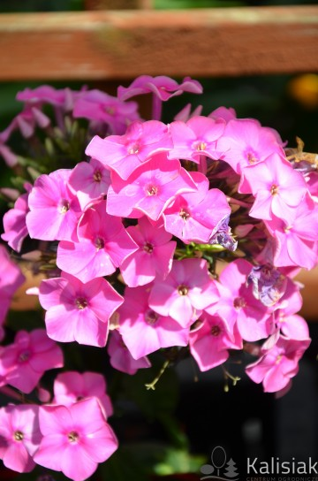 Phlox pan. 'Sweet Summer Compact Rose' (Floks wiechowaty) - C2