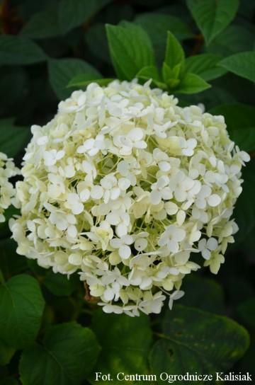 Hydrangea arborescens 'Annabelle' (Hortensja krzewiasta) - C2