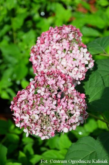 Hydrangea arborescens PINK ANNABELLE 'Spirit' (Hortensja krzewiasta) - C5