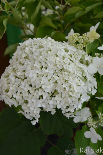 Hydrangea arborescens STRONG ANNABELLE 'Abetwo' (Hortensja krzewiasta) - C4