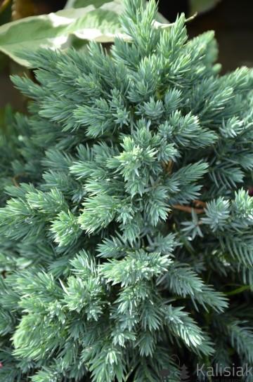 Juniperus squamata 'Blue Star' (Jałowiec łuskowaty) - C2