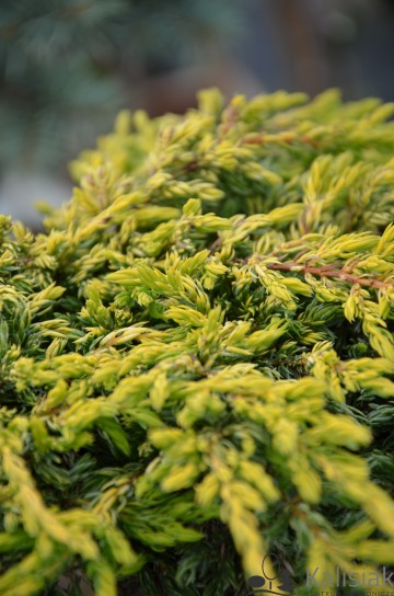 Juniperus communis 'Goldschatz' (Jałowiec pospolity) - C2