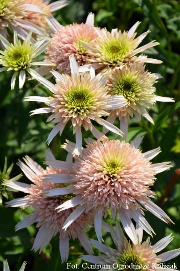 Echinacea 'Cherry Fluff' (Jeżówka) - C2