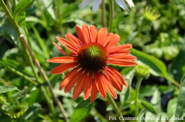 Echinacea 'Julia' (Jeżówka) - C2