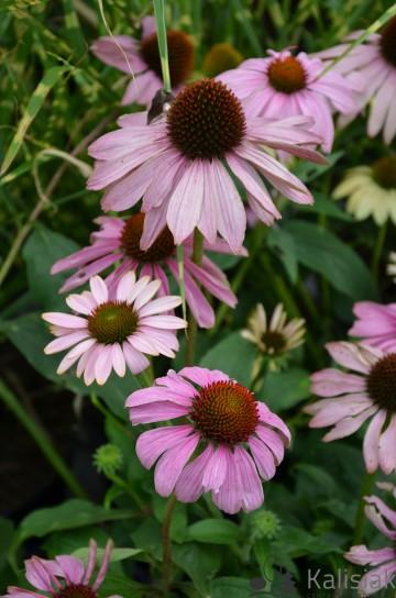 Echinacea 'Prairie Splendor Compact Rose' (Jeżówka purpurowa) - C2