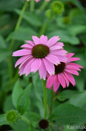 Echinacea 'Prairie Splendor Dark Rose Compact' (Jeżówka purpurowa) - C2