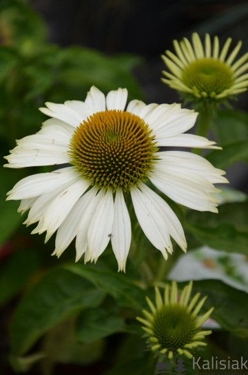 Echinacea 'Prairie Splendor Compact White' (Jeżówka) - C2