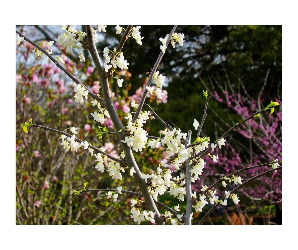 Cercis canadensis 'Royal White' (Judaszowiec kanadyjski) - C6