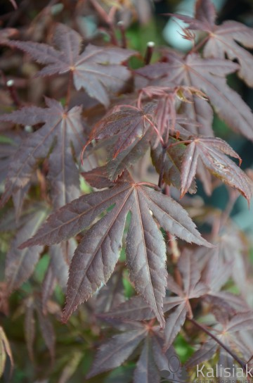 Acer palmatum 'Atropurpureum' (Klon palmowy) - C2