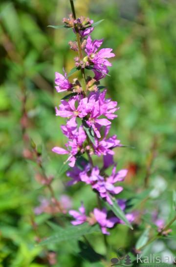 Lythrum virgatum 'Dropmore Purple' (Krwawnica rózgowata) - C2