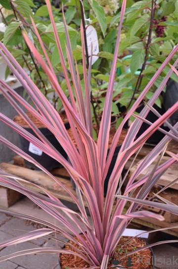 Cordyline australis 'Southern Splendor' (Kordylina) - C5