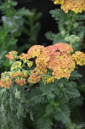 Achillea millefolium 'Summer Fruits Carmine' (Krwawnik pospolity) - C2