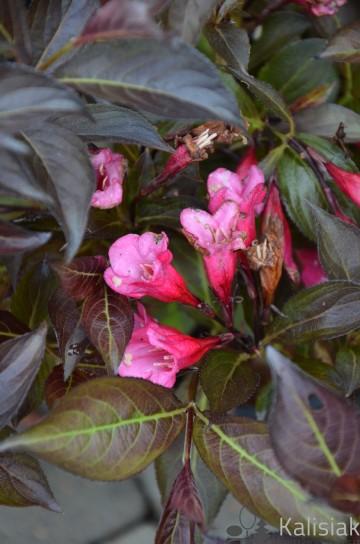 Weigela florida 'Nana Purpurea' (Krzewuszka cudowna) - C2