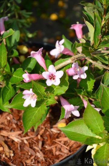 Weigela florida PINK POPPET 'Plangen' (Krzewuszka cudowna) - C3