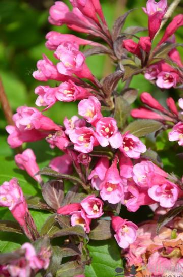 Weigela florida 'Victoria' (Krzewuszka cudowna) - C5