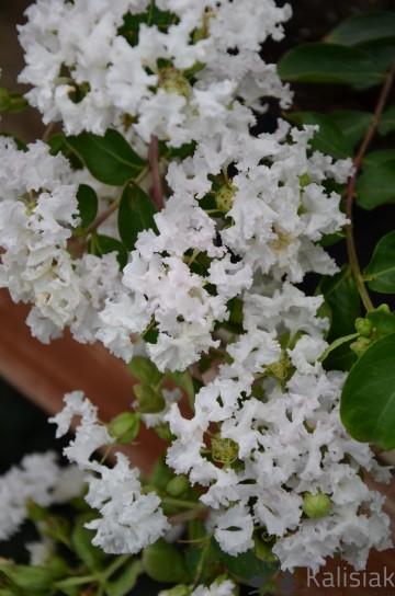 Lagerstroemia indica 'Petite White' (Lagerstremia indyjska) - C2