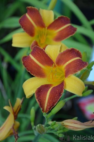 Hemerocallis 'Frans Hals' (Liliowiec ogrodowy) - C3