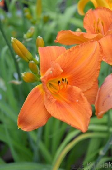 Hemerocallis 'Mauna Loa' (Liliowiec ogrodowy) - C5