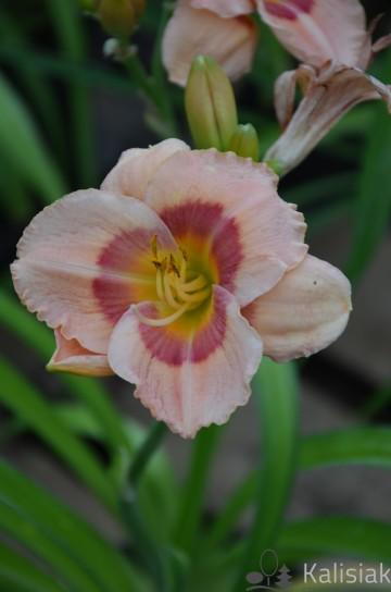 Hemerocallis 'Miłosz' (Liliowiec ogrodowy) - C5