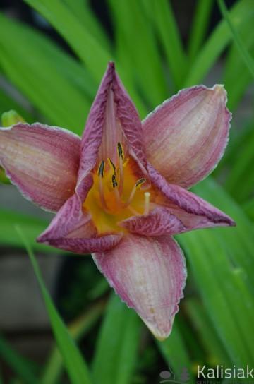 Hemerocallis 'Warta' (Liliowiec ogrodowy) - C5