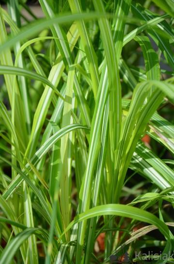 Miscanthus sinensis 'Cabaret' (Miscant chiński) - C5