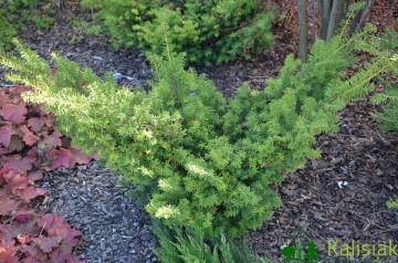 Taxus cuspidata 'Aurescens'