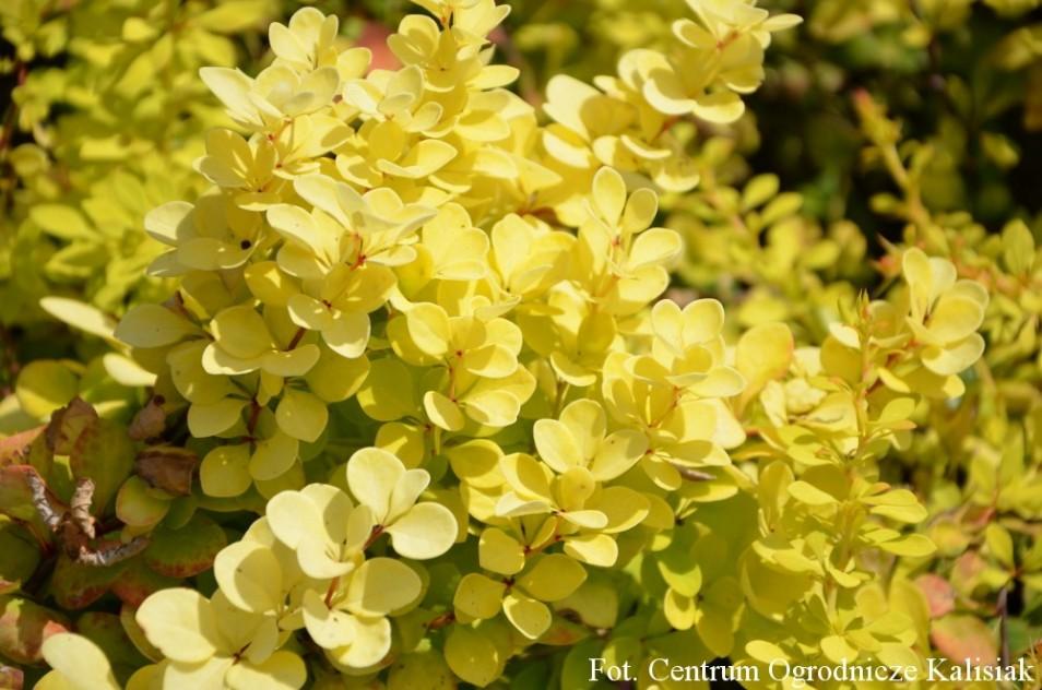 Berberis thunbergii 'Golden Carpet'
