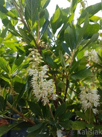 Clethra alnifolia 'Sixteen Candles' (Orszelina olcholistna) - C5