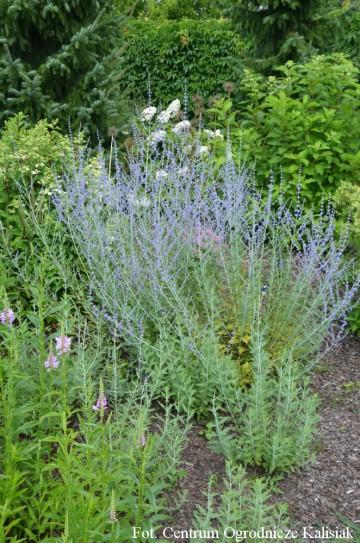 Perovskia atriplicifolia 'Blue Spire' (Perowskia łobodolistna) - C3