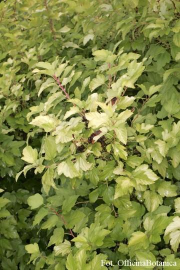 Physocarpus opulifolius 'Dart's Gold' (Pęcherznica kalinolistna) - C2