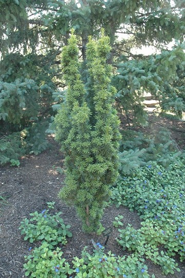 Taxus baccata 'Krzysztof'