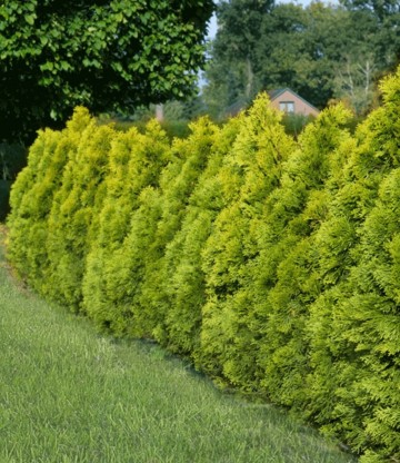 Thuja occidentalis 'Golden Brabant'