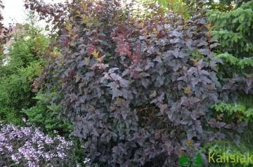 Physocarpus opulifolius 'Diabolo' (Pęcherznica kalinolistna) - C2