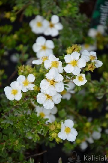 Potentilla fruticosa BELLA BIANCA 'Hachbianca' (Pięciornik krzewiasty) - C2