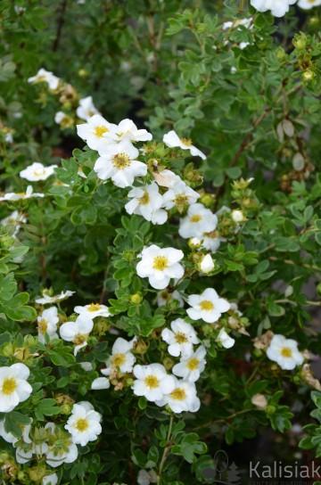 Potentilla fruticosa 'Creme Brulee' (Pięciornik krzewiasty) - C5