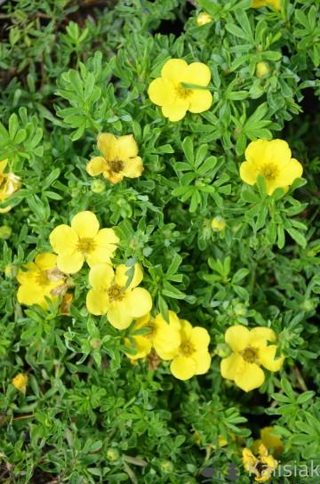 Potentilla fruticosa 'Bella Sol' (Pięciornik krzewiasty) - C2