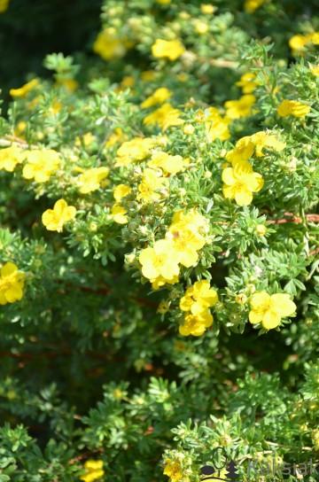 Potentilla fruticosa 'Goldstar' (Pięciornik krzewiasty) - C2